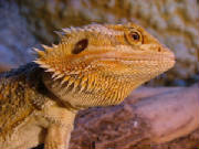 Alice the Bearded Dragon